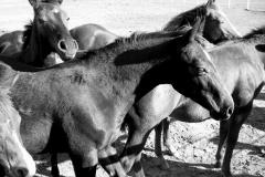 Baerbel Bornhoeft, Wildpferde