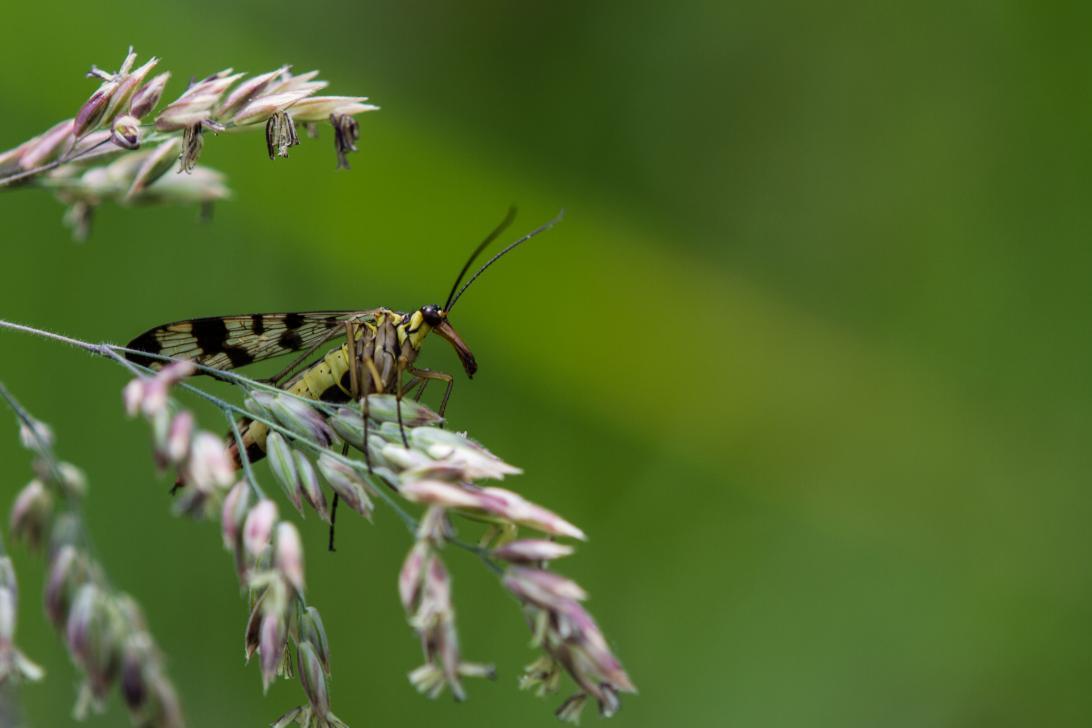 Franziska Ehrlich - Skorpionsfliege