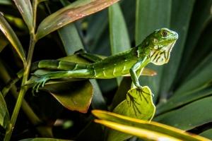 Anja_Giegerich_Ein neugieriges Kerlchen_Iguana gesichtet in Florida