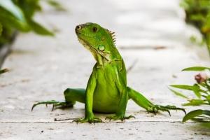 Medaille Anja_Giegerich_Iguana in Florida gesichtet