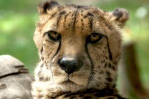 Bärbel_Bornhöft_Cheetah_im_Opelzoo