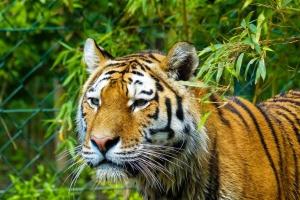 Chantal_Ott_Im Antlitz des Tigers