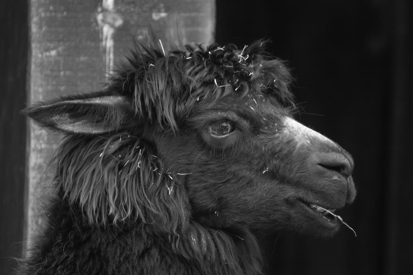 Martin Speth, Das schwarze Schaf